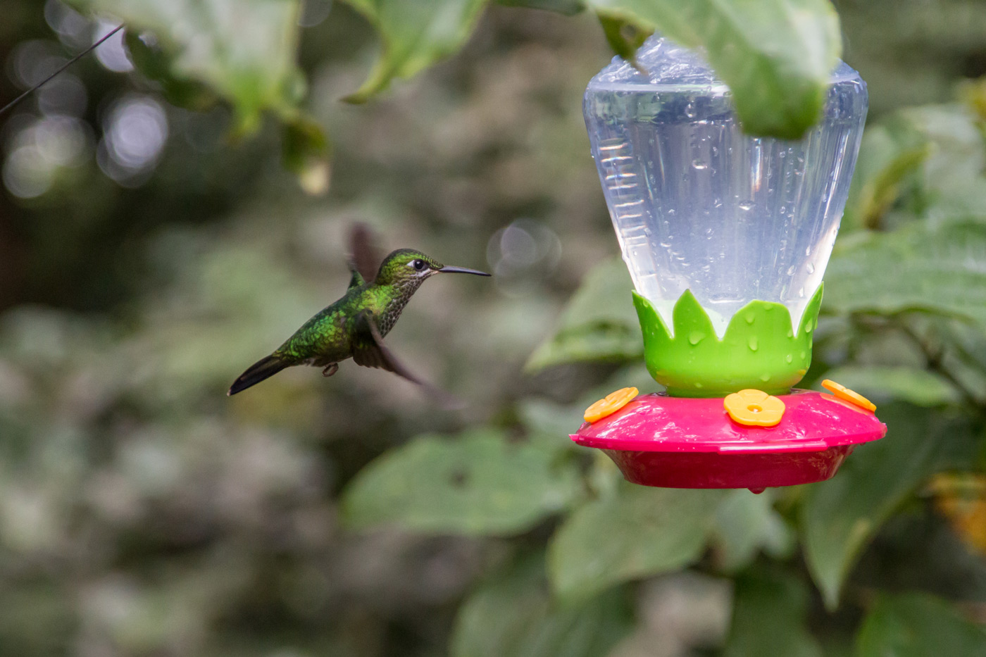 Hummingbird mid flight