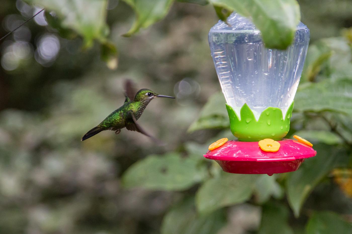 Hummingbird mid flight