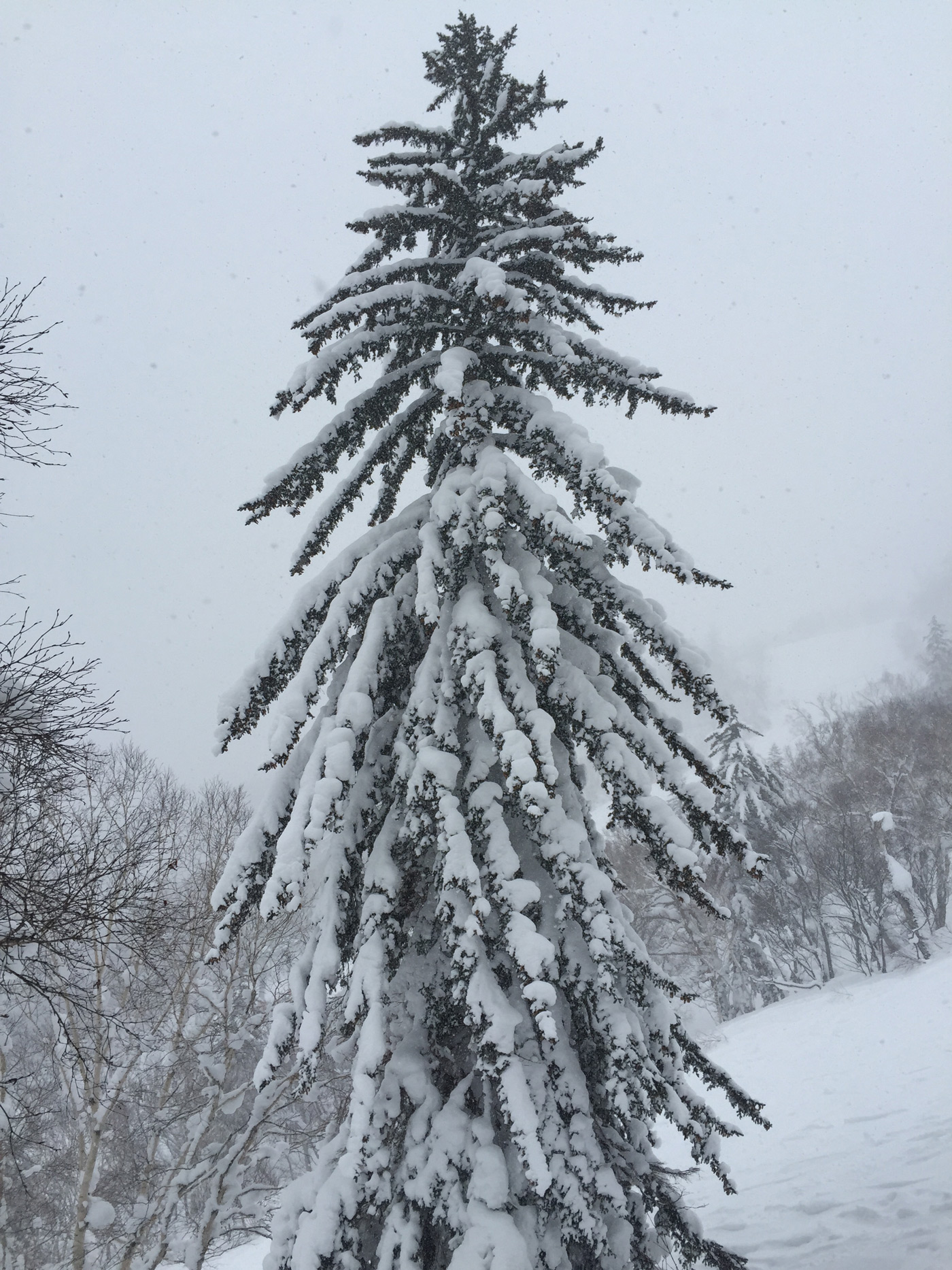Snow covered tree in Kiroro